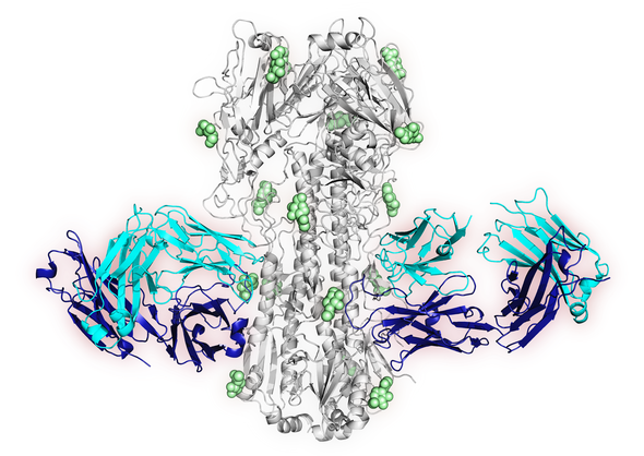 X-ray crystal structure image of one of the newly-identified antibodies